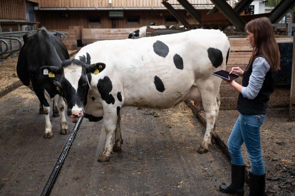 Landwirtin überprüft Brunsthinweise der digitalen Nedap Brunsterkennungstechnik für Milchkühe.