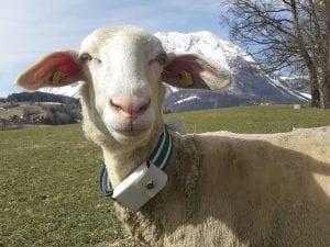 Schaf mit GPS Tracker
