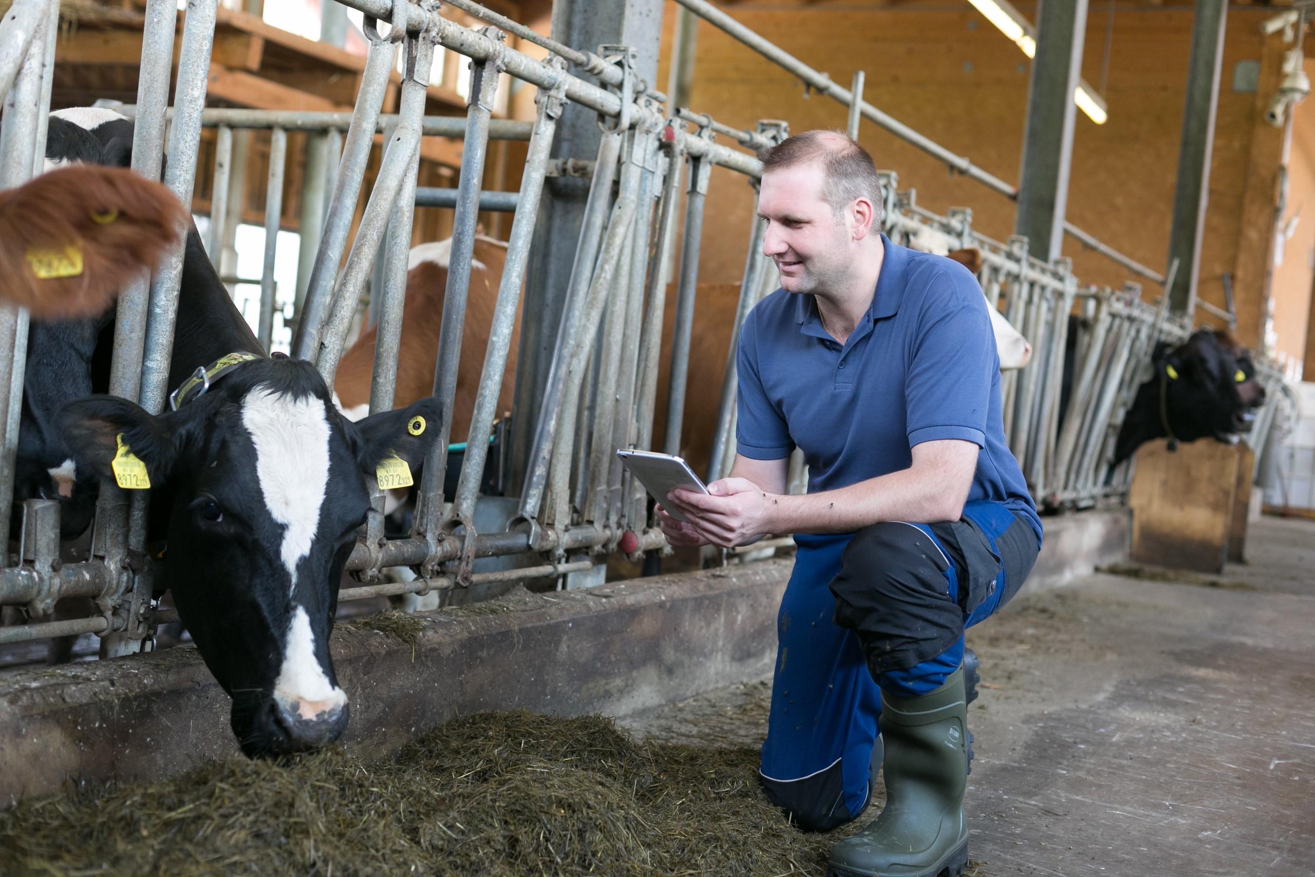 Landwirt mit Tablet, welches die Brunstauswertung übermittelt.